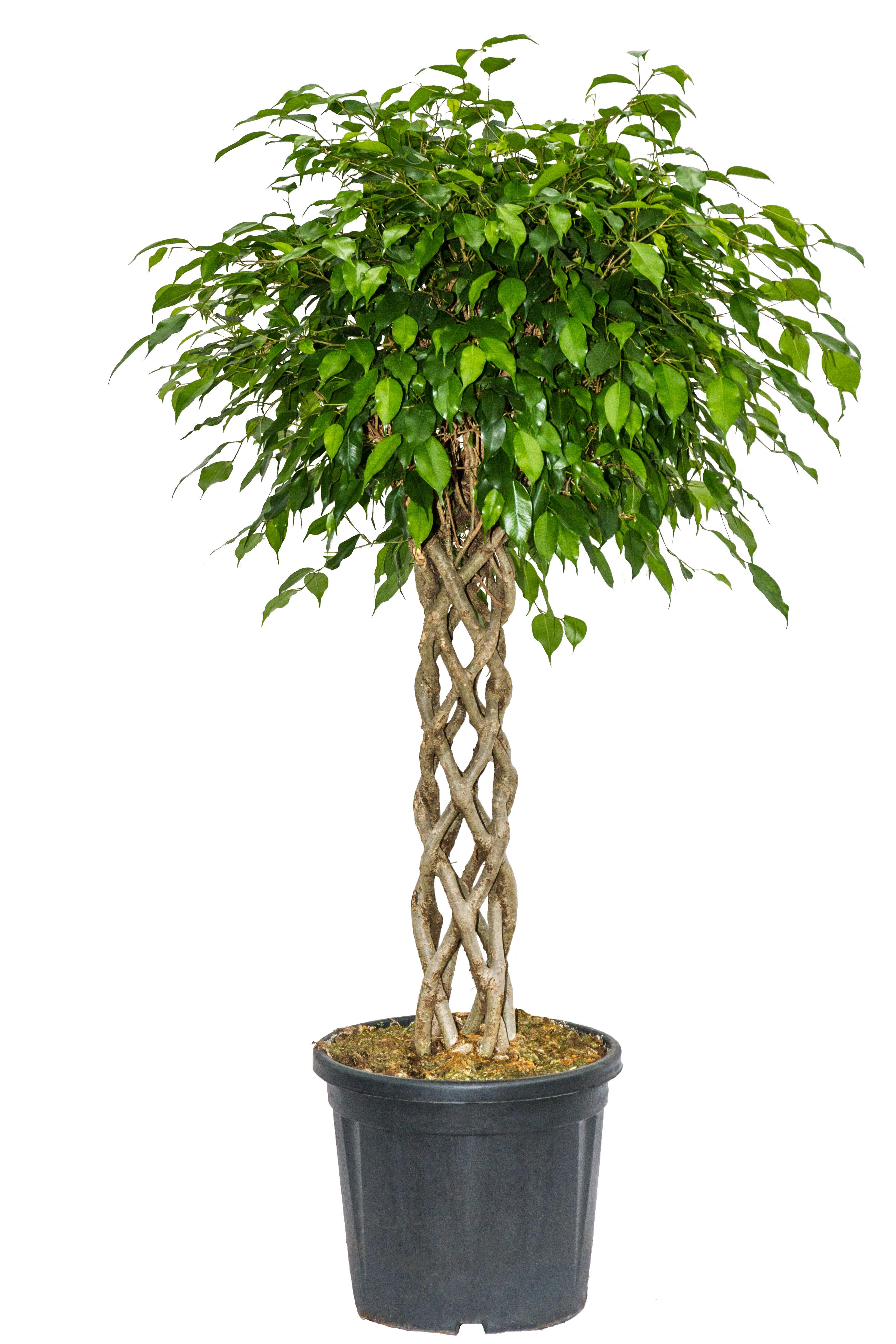 Wonderful Ficus Benjamin Colonna V. 24cm H 120cm
