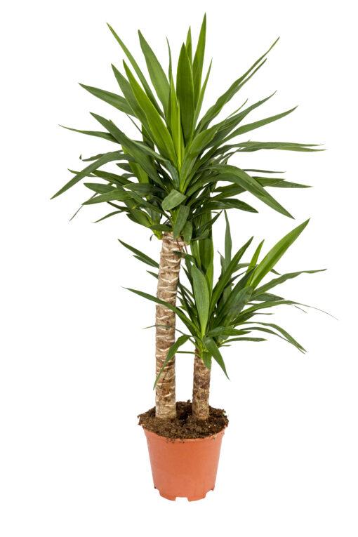 yucca 30-60