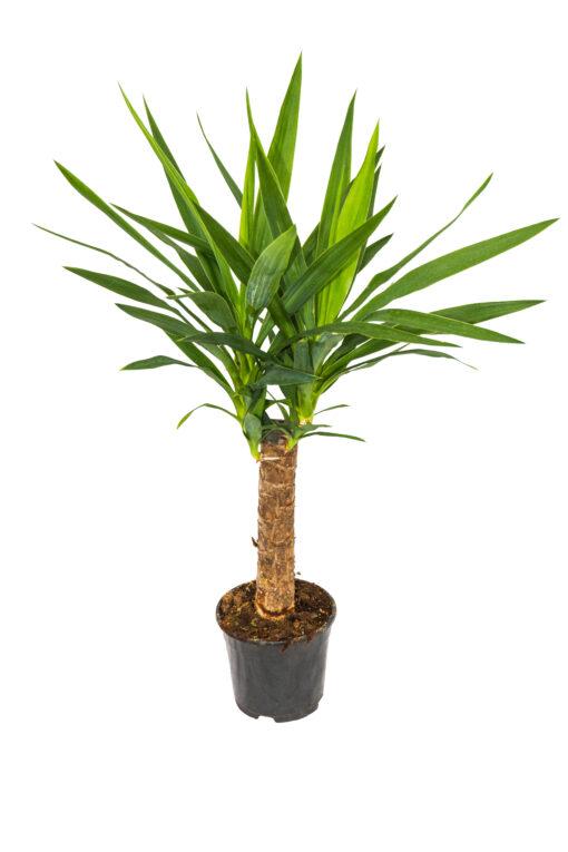 yucca v. 14