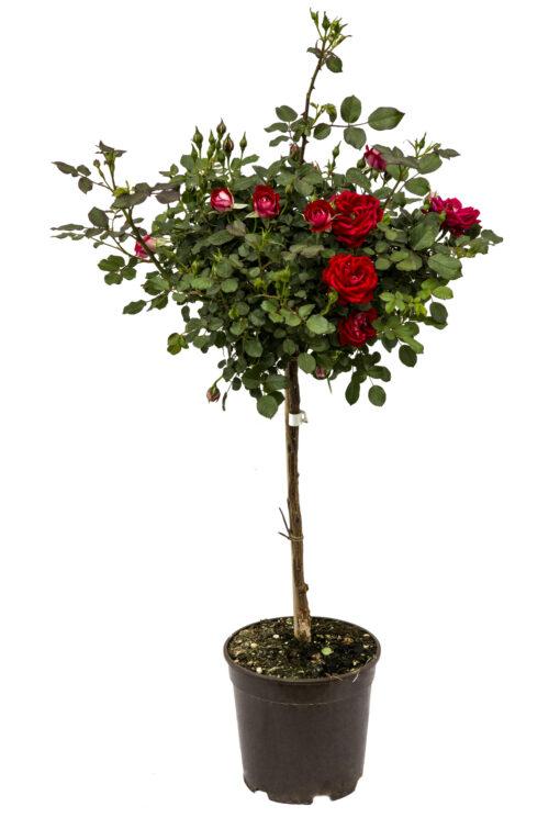 rosa alberetto v. 21
