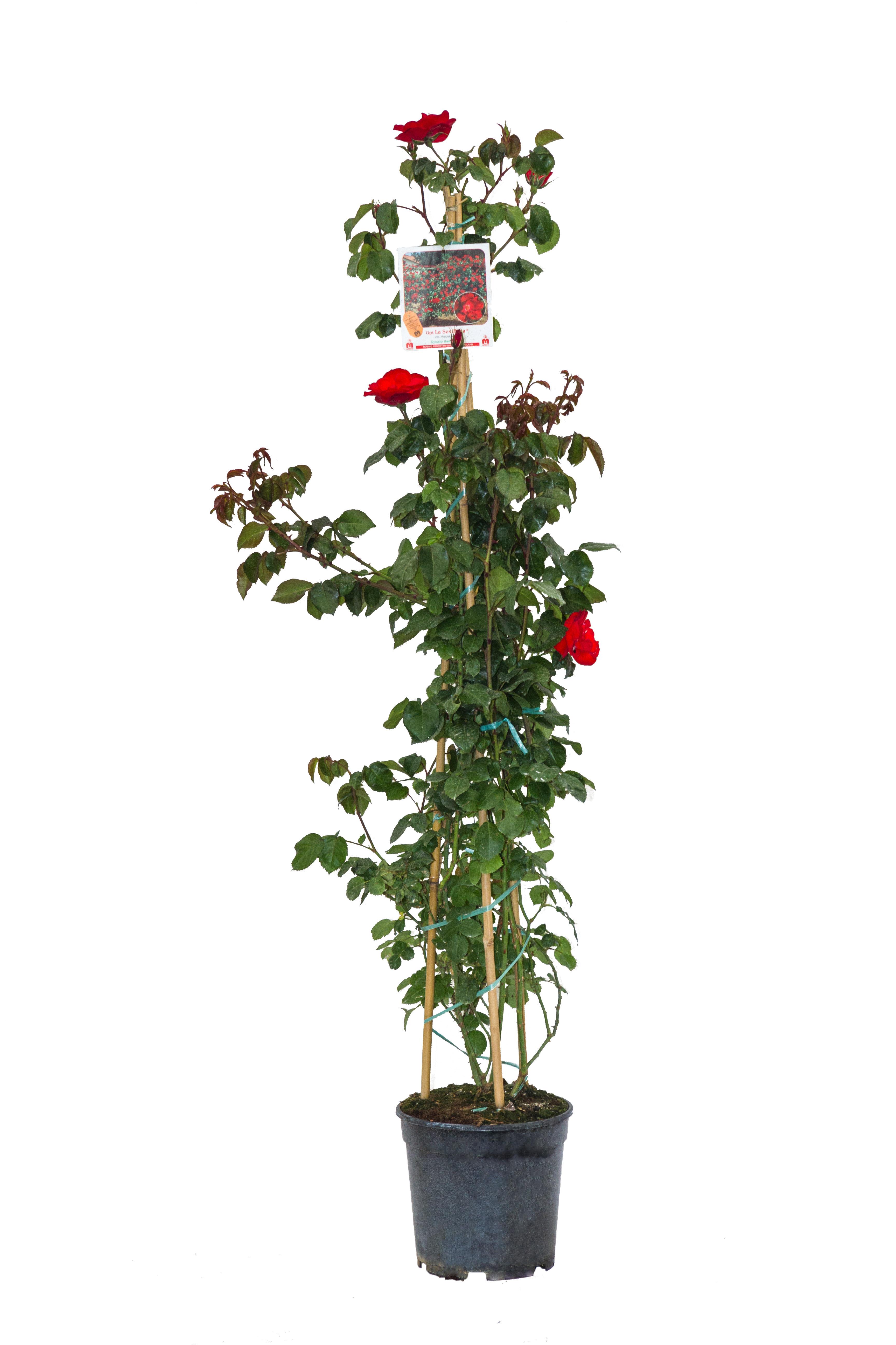 Rosa Rampicante In Vaso rosa rampicante v. 21cm h 120cm – agria fiorita s.r.l